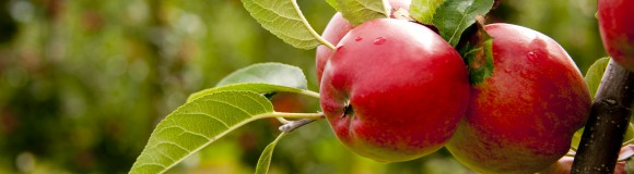 Fietsroute van de maand augustus 2015: Maos en Waolse Fruitroute in Gelderland 53 km